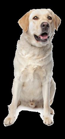 standard di razza labrador retriever