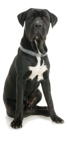 standard di razza cane corso